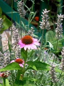 echinacea-lavender