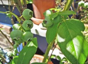 ripening 1a