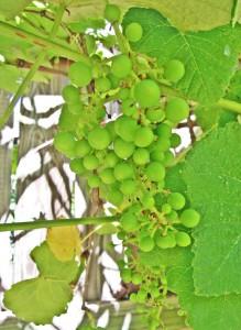 ripening 1c