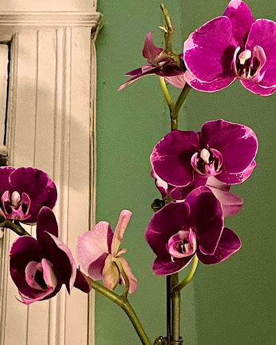 Photograph of orchid blooming