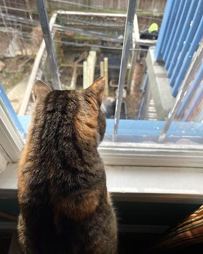 Photo of Maitri the cat looking out the window at construction work in the garden