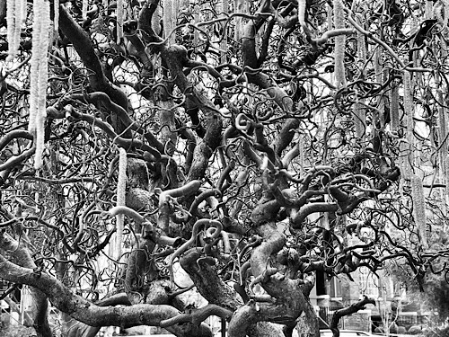 Black and white photo of tangled branches of a mature Harry's walking stick