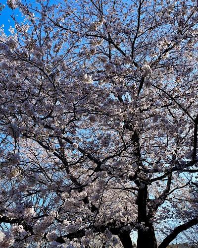 Image of cherry tree in full bloom against blue sky