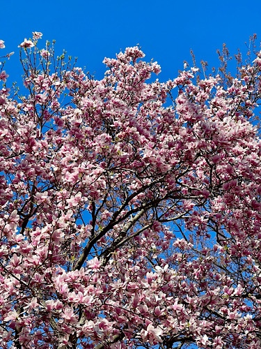 Image of pink magnolia tree in full bloom against blue sky