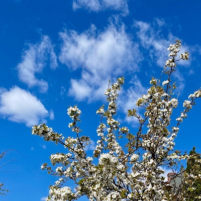 Photo of cherry blossoms and heart-shaped cloud against blue sky