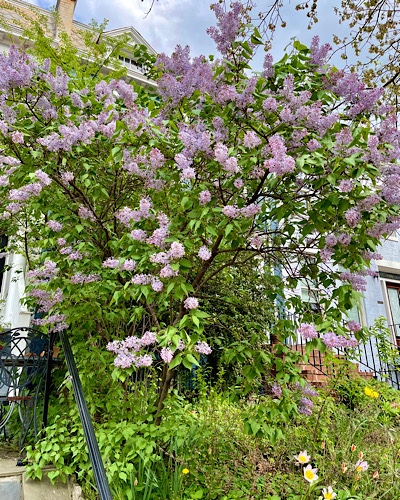 Photo of a very large lilac bush in full bloom