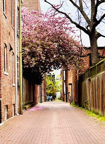 Photo of urban alley with large blossoming tree