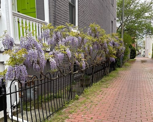 Photo of wisteria blooming in an urban alley