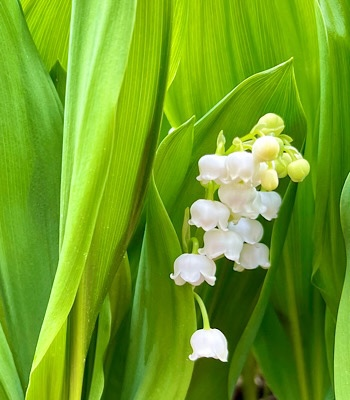 Photo of lily of the valley