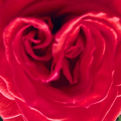 Image of center of a red rose blossom