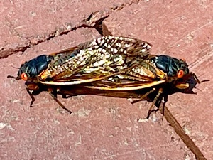 Photo of two 17-year brood X cicadas mating